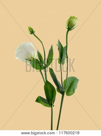 white lisianthus flower.flower is similar white rose