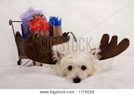 Wore Out Westie Reindeer