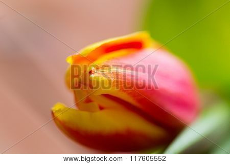 flora, gardening and plant concept - close up of tulip flower