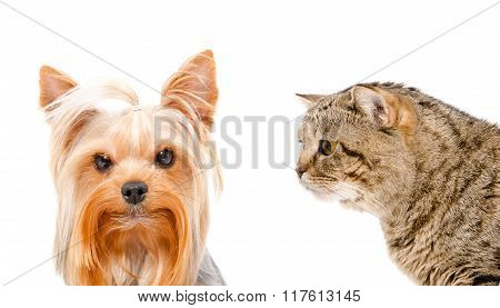 Portrait of a Yorkshire terrier and curious cat Scottish Straight