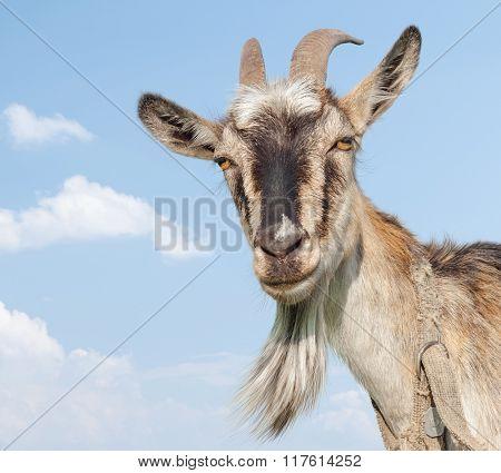 Goat portrait on a blue sky background