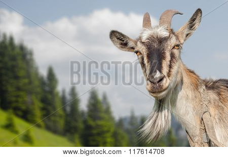 Goat portrait on a summer meadow background