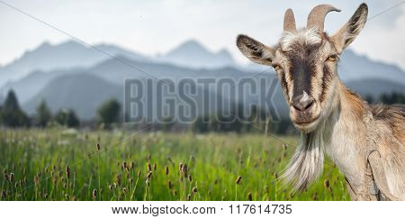 Goat portrait on a summer meadow and mountains background