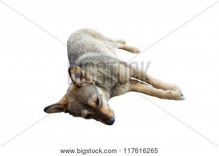isolated dog lying
