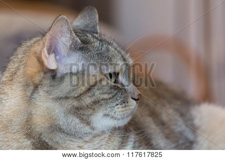 Watchful Gray Domestic Cat