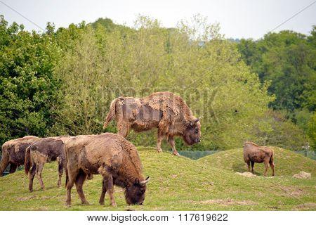 European Bison Herd In Fota Wildlife Park
