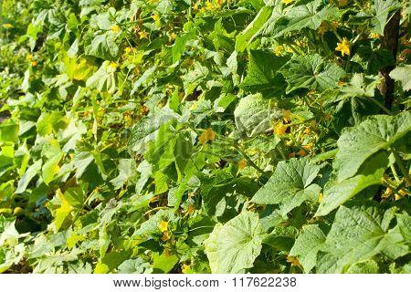 Flowering Cucumber Garden