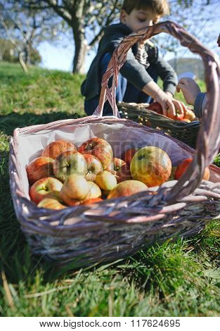 Wicker basket with fresh organic apples from harvest