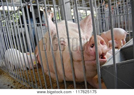 Pig in a cage. Exibition.