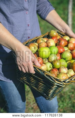 Woman hands holding wicker basket with organic apples