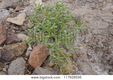 Green desert plant