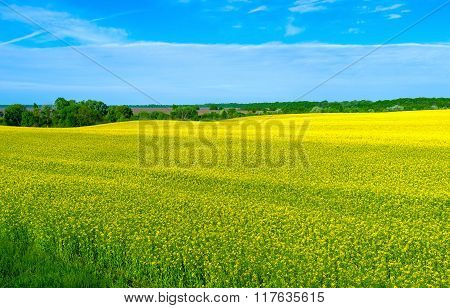 A Sea Of Yellow Rapeseed Flowers