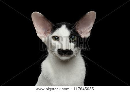 Closeup Funny Oriental Shorthair Looking At Camera Isolated, Black