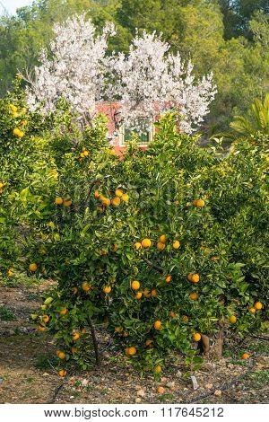 Orange Trees And Almond Blossom