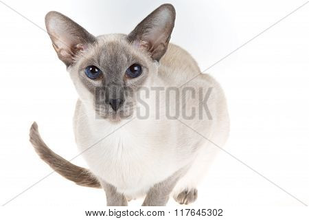Oriental Blue-point Siamese Cat Posing On A White