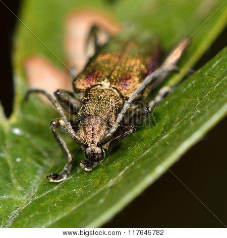 Reed beetle Donacia vulgaris