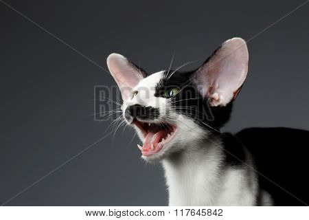 Closeup Funny Meowing Oriental Shorthair On Dark Background