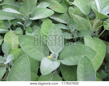 Garden sage, Salvia officinalis