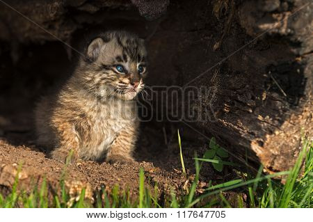 Baby Bobcat Kitten (lynx Rufus) Peers Out From Inside Log