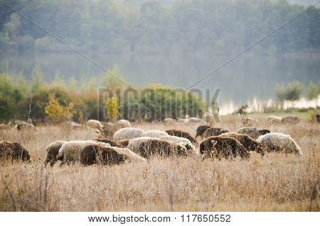 Sheeps Feasting In Moldova