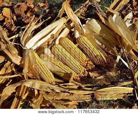 Ripened ears of corn lie in their husks