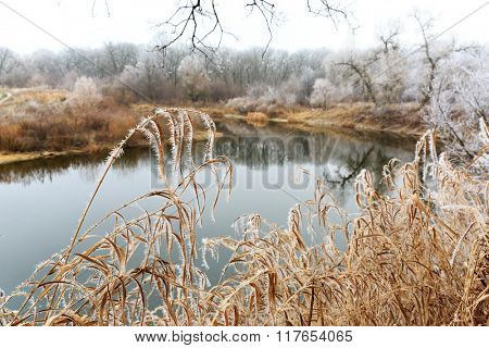 Frozen cane near river bank