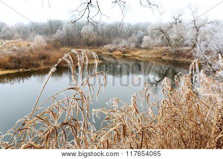 Frozen cane near river bank