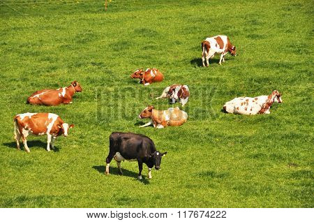 Herd of cattle on a scenic Alpine meadow.