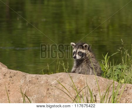 Raccoon by a Lake