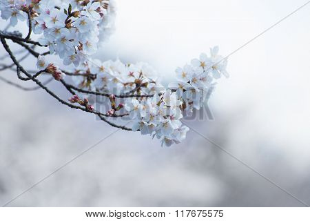 Cherry blossom in whitish tone. Cherry tree branch in full bloom with pink flower buds.