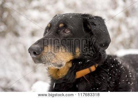 Black And Tan Dog Outdoors In Snow