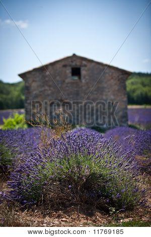 provence, lavande