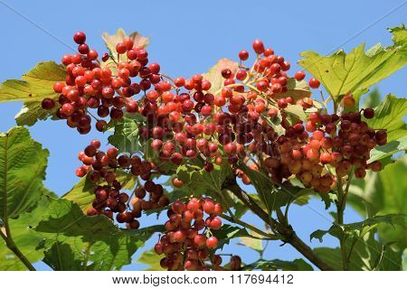 Ripen Bunches Of Viburnum Berries On The Branch