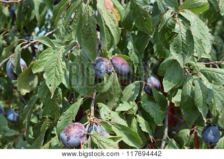 Prunes, Ripen On The Branches