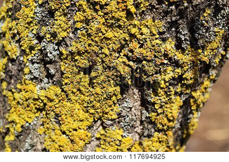 Yellow And Gray Lichens On Tree Bark