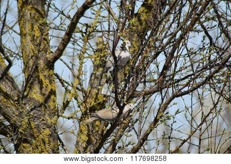 Two Turtledoves On The Branches Of An Apricot