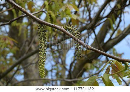 Blooming Walnut Spring
