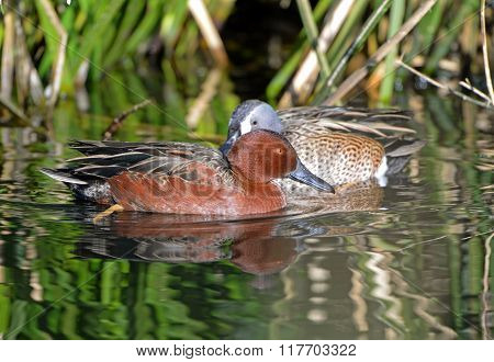 Male Cinnamon Teal swimming, Arizona, USA