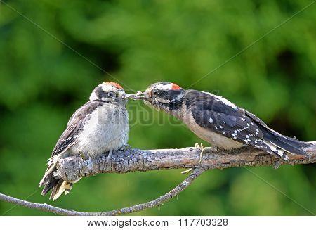 Downy Woodpecker feeding Baby on a Branch, Canada