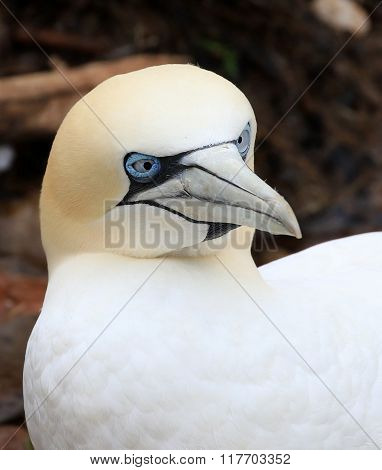 Northern Gannet Face, Quebec, Canada