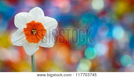 Blooming Narcissus Over Colorful Background