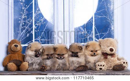Pomeranian as the Bears
