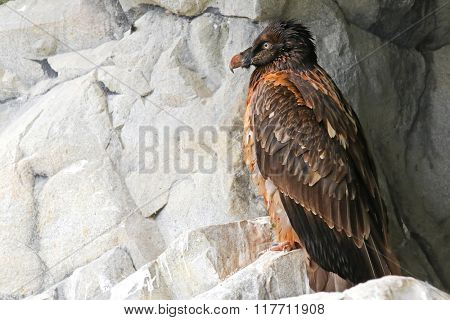 Closeup of Bearded vulture (Gypaetus barbatus), Alpine bird of prey sitting on rock during the winter