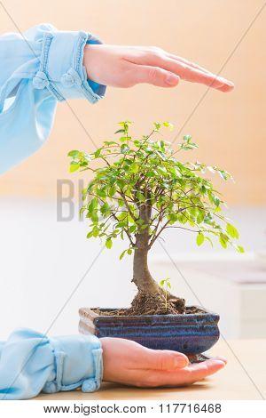 Beautiful bonsai tree with woman's hands