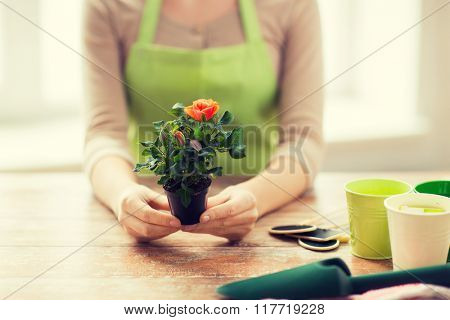 people, gardening, flowers and profession concept - close up of woman hands holding roses bush in flower pot at home