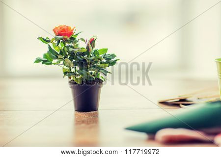 gardening and planting concept - close up of rose flower in pot on table at home
