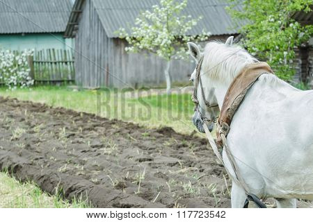 White draft horse at freshly ploughing field furrows background