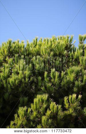 Evergreen Downy Fir Tree