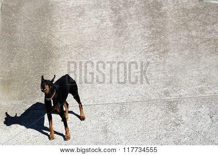 One Medium-large Breed Domestic Dog