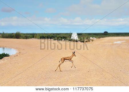 Baby Springbok Antelope